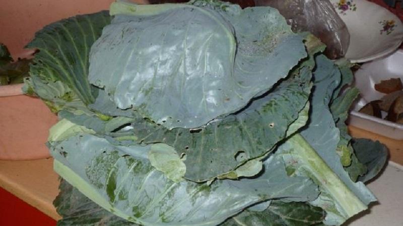 Старинные рецепты, которые стоит попробовать: крошево из зеленых листьев капусты на зиму